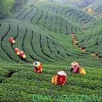 3 популярных сорта китайского черного чая