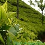 Экскурсия по долинам индийского чая
